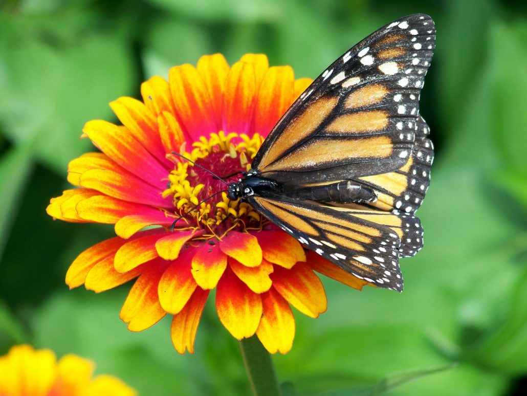 Where are the Monarch Butterflies?